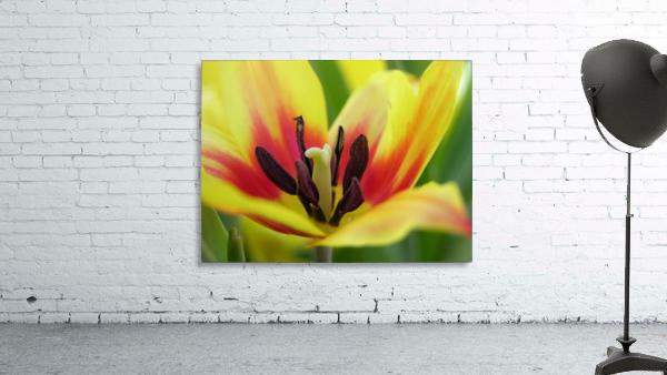 Yellow Tulip Photograph