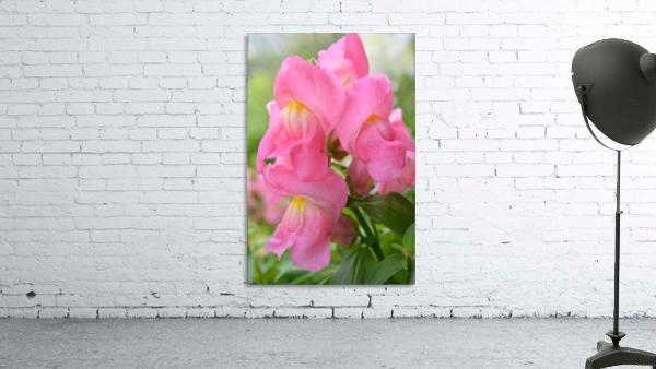 Pink Snapdragon Photograph