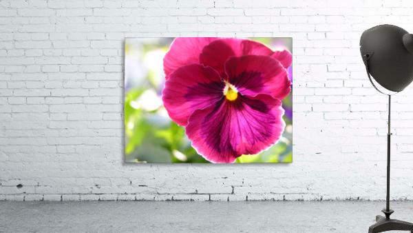 Pink Pansy Photograph
