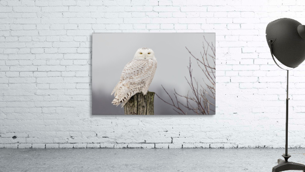 Snowy Owl on the Fence