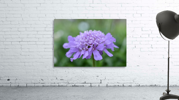 Purple Pincushion Flower Photograph