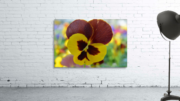 Yellow Pansy Covered In Due Drops