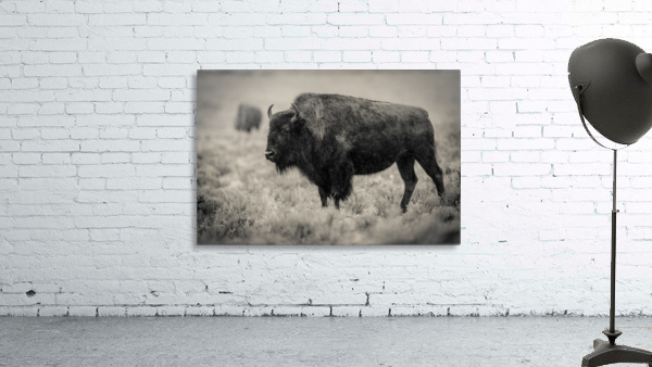 Bison of the Far West