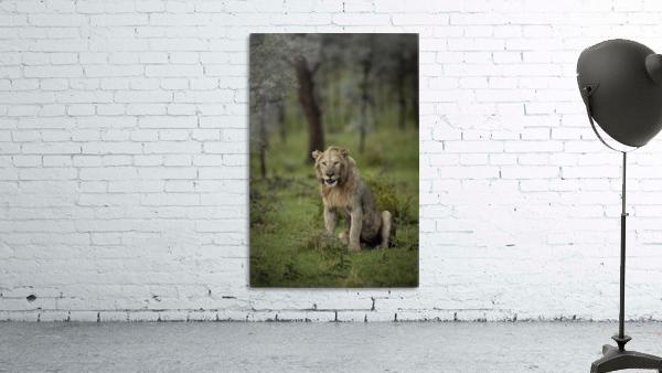 Lion under Rain by www.jadupontphoto.com