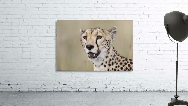 Cheetah Portrait by www.jadupontphoto.com