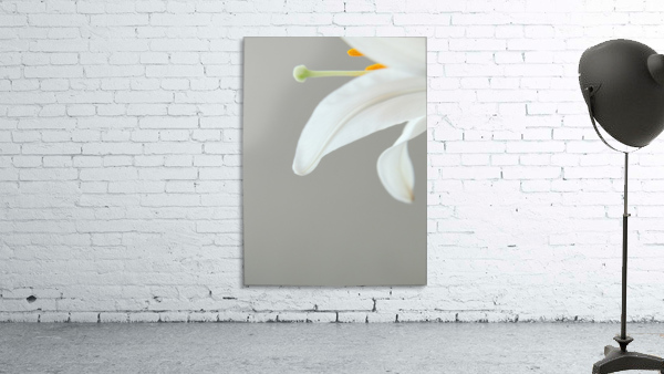 Madonna Lily detail