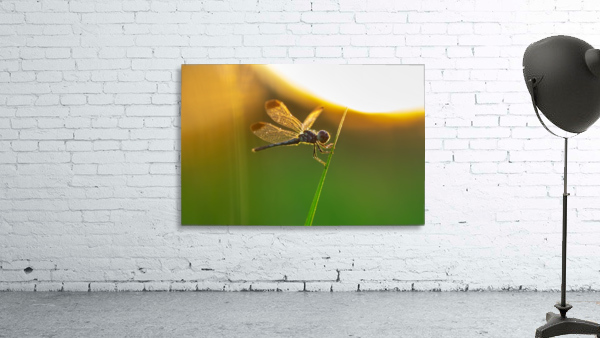 Dragonfly perching on grass twig