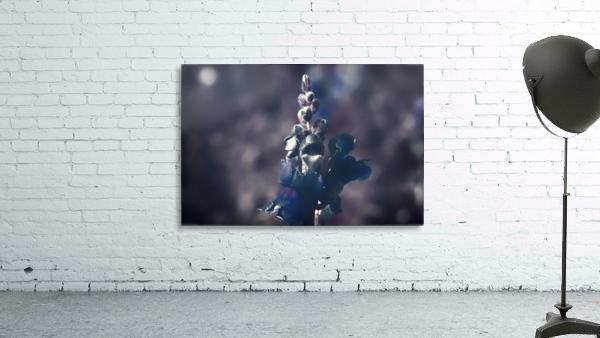Lupinus luteus Dark Blue