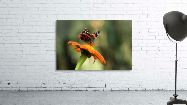 Mexican Sunflower With Red Admiral