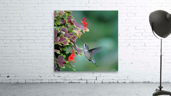 Hummingbird Loving The Orange Geranium