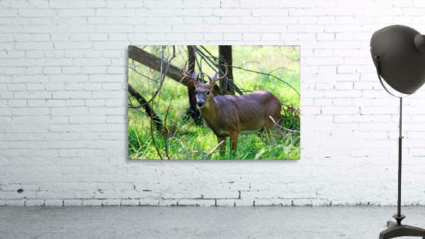 A Buck In The Grass