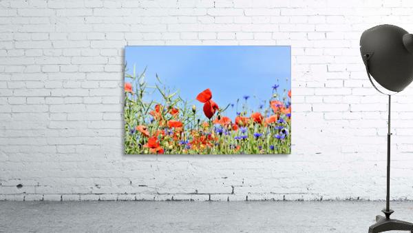poppy, alpine cornflower, centaurea montana, flower, flower meadow, blossom, bloom, flora, plant, wild flower, garden, meadow, nature, field, petals, leaves, stems,