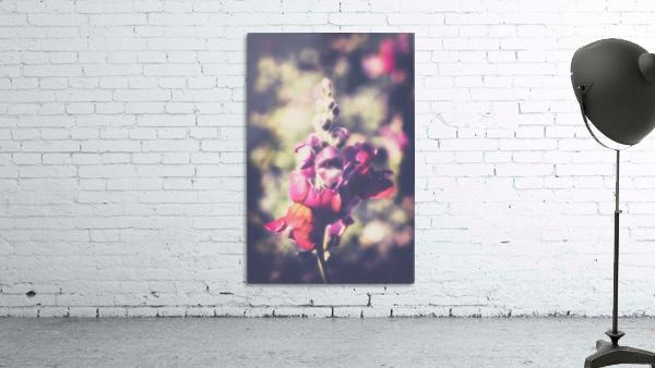 Lupine Fuchsia