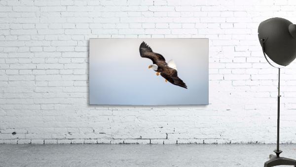 Mature Bald Eagle aiming for prey.