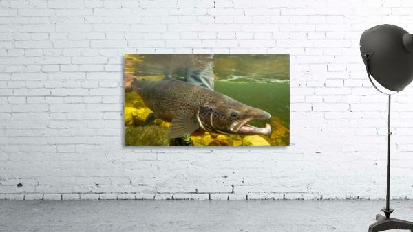 Atlantic salmon Male.