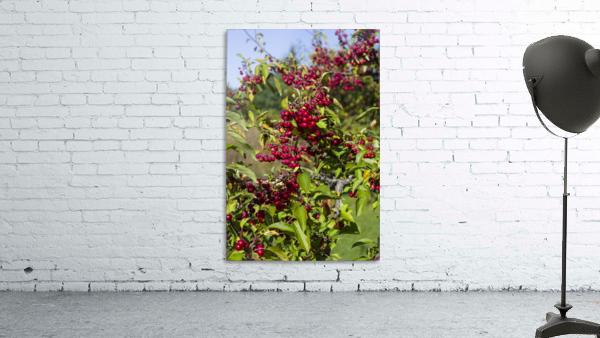 Sumac Bush in Autumn 2
