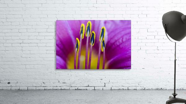 Macro of Purple Day Lily Stamen