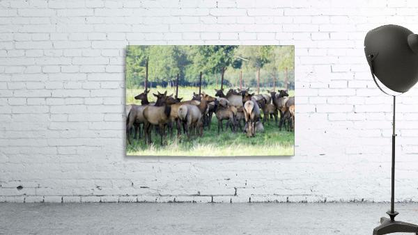 Elk Red Tailed Deer or Wapiti 16