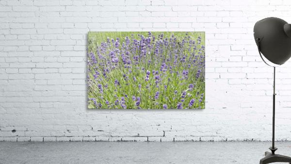 Lavender plants 7
