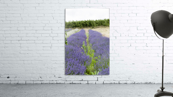 Lavender plants and fruit trees 6