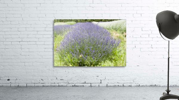 Lavender plants 1
