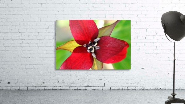 Dark Red Trillium