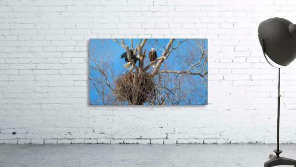 Bald Eagles cleaning up old nest.