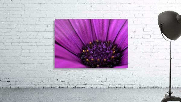 Purple Osteospermum Daisy Photograph Macro