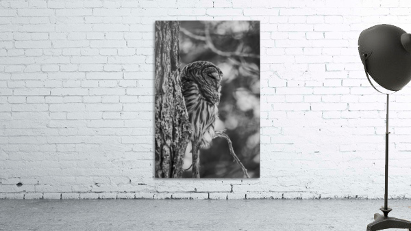 Black and white Barred Owl