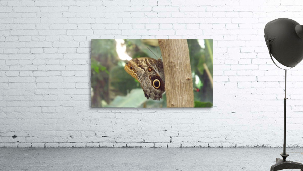 Giant Owl Butterfly on Tree