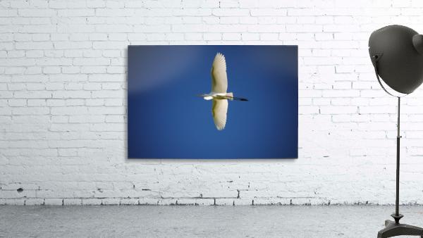 Egret Sailing Above