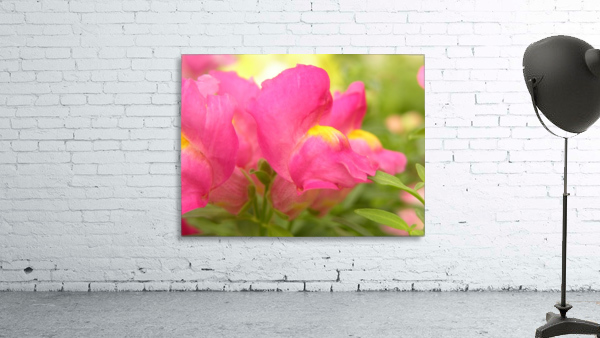 Pink Snapdragons Photograph