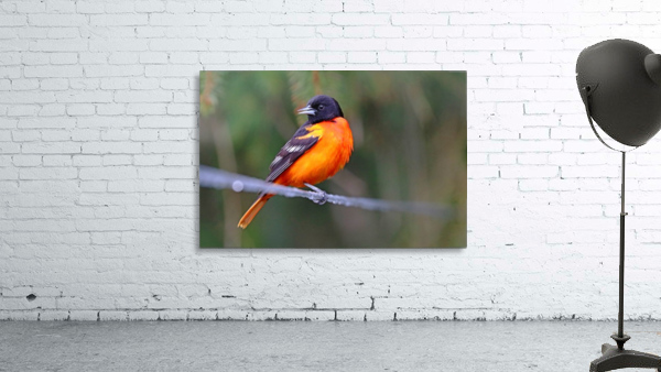 Baltimore Oriole On The Line
