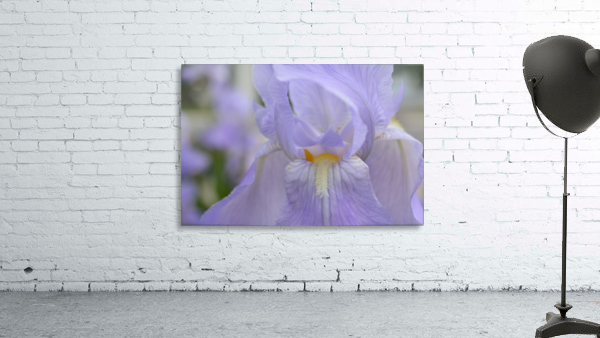 Pale Blue Iris Photograph