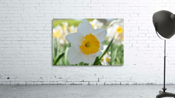 White Daffodil Photograph