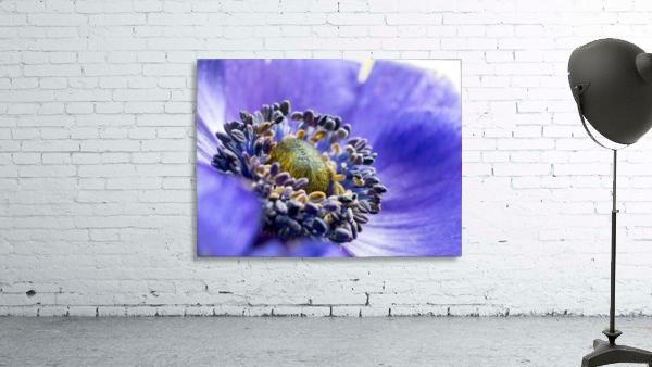 Blue Flower Anemone Close-up Macro