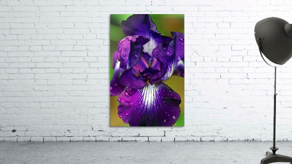 Purple With White Splash Iris