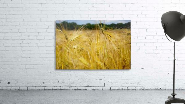 Corn Cob Landscape 06