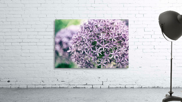 Allium in Bloom