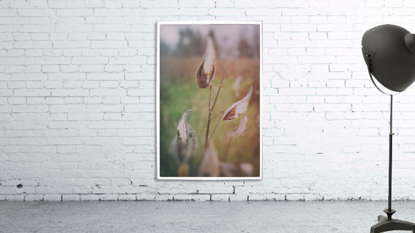 Milk Weed in the Fall