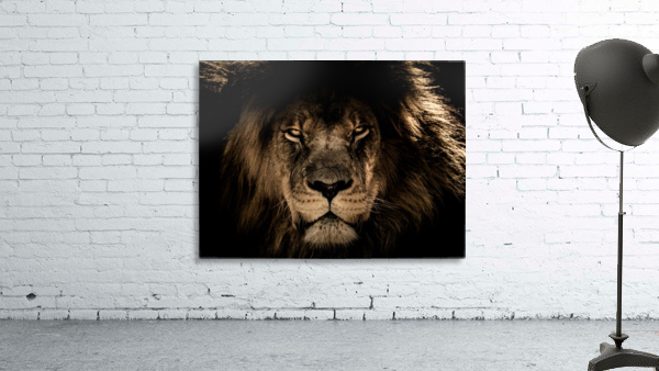 african lion wildcat mane closeup