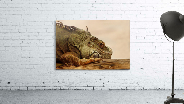 animal reptile lizard iguana