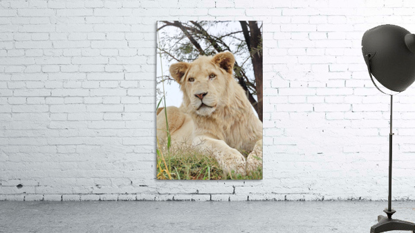 Young White Lion Male