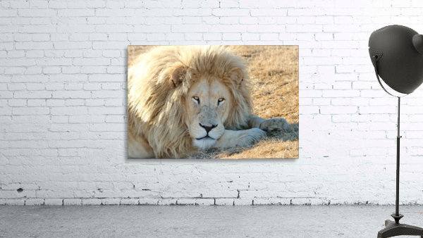White Lion Portrait 913