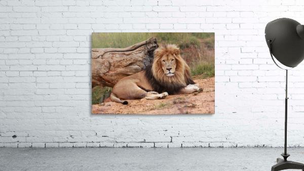 Brown Lion Male 9027