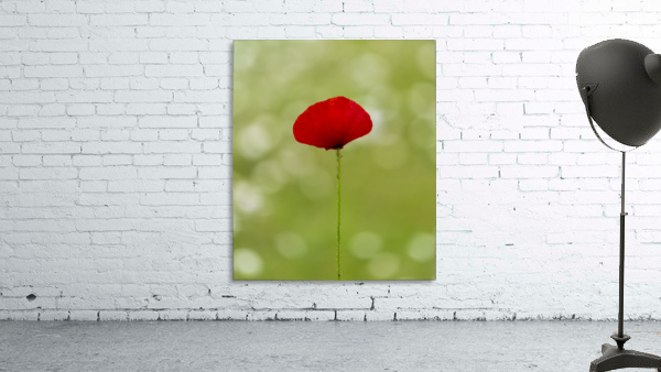 A solo Red Poppy