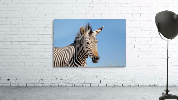 Zebra 5091
