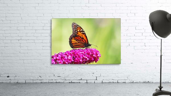 Monarch On Magenta Buddleia