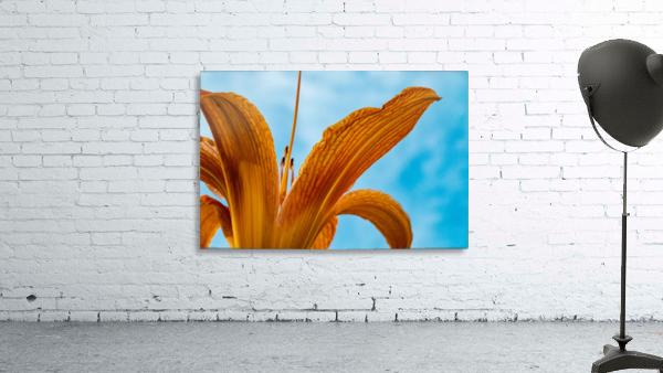 Orange Iris 3