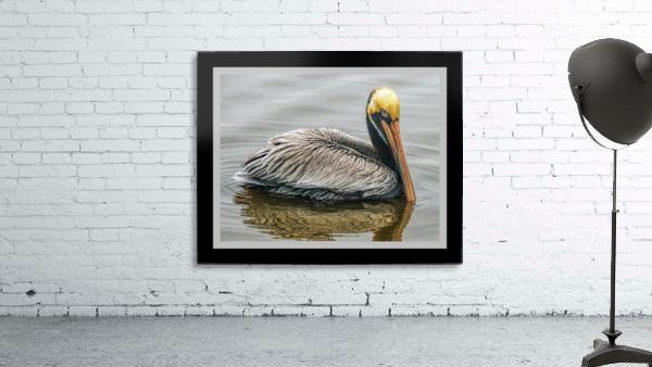 Brown Pelican II - HDR
